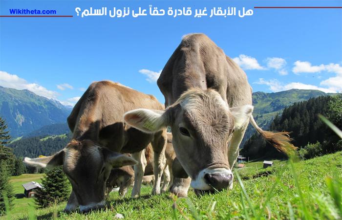 الأبقار غير قادرة على نزول السلم